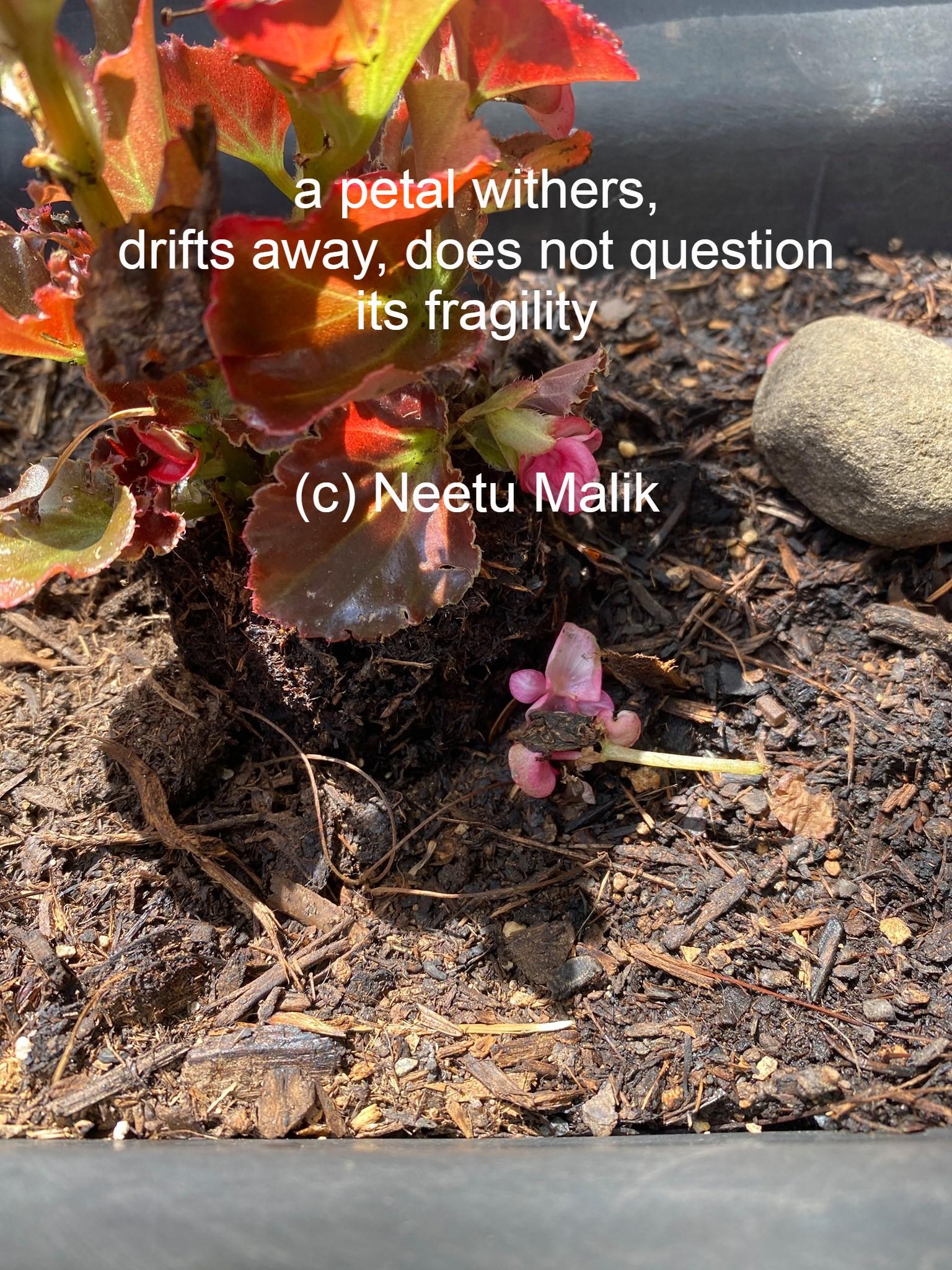 Begonia petal falling poem.jpg
