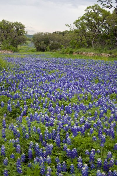 Click image for larger version.  Name:Bluebonnets-2.jpg Views:2 Size:88.1 KB ID:23582