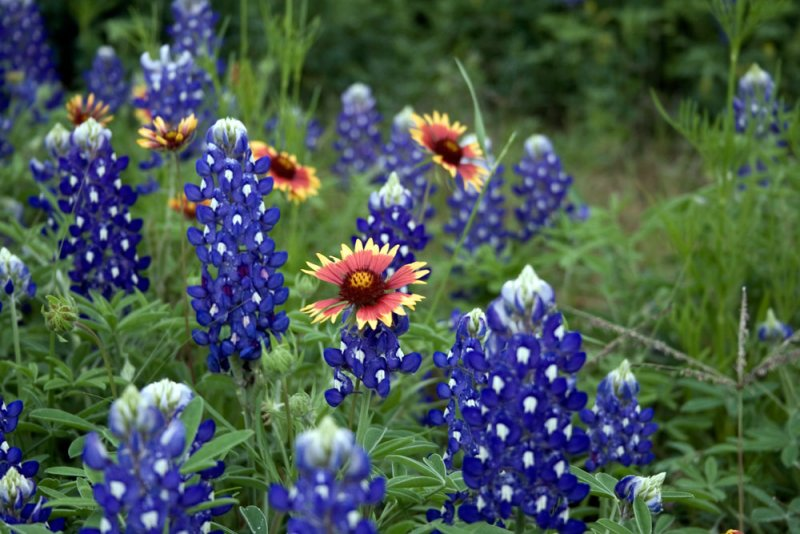Click image for larger version.  Name:Bluebonnets.jpg Views:2 Size:93.2 KB ID:23581