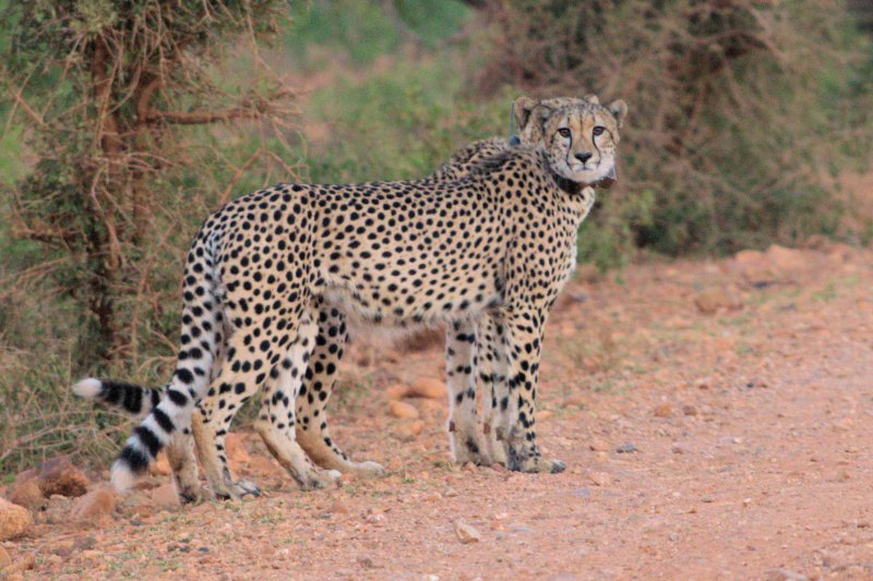 Click image for larger version.  Name:Cheetah Twins.jpg Views:13 Size:105.6 KB ID:15505