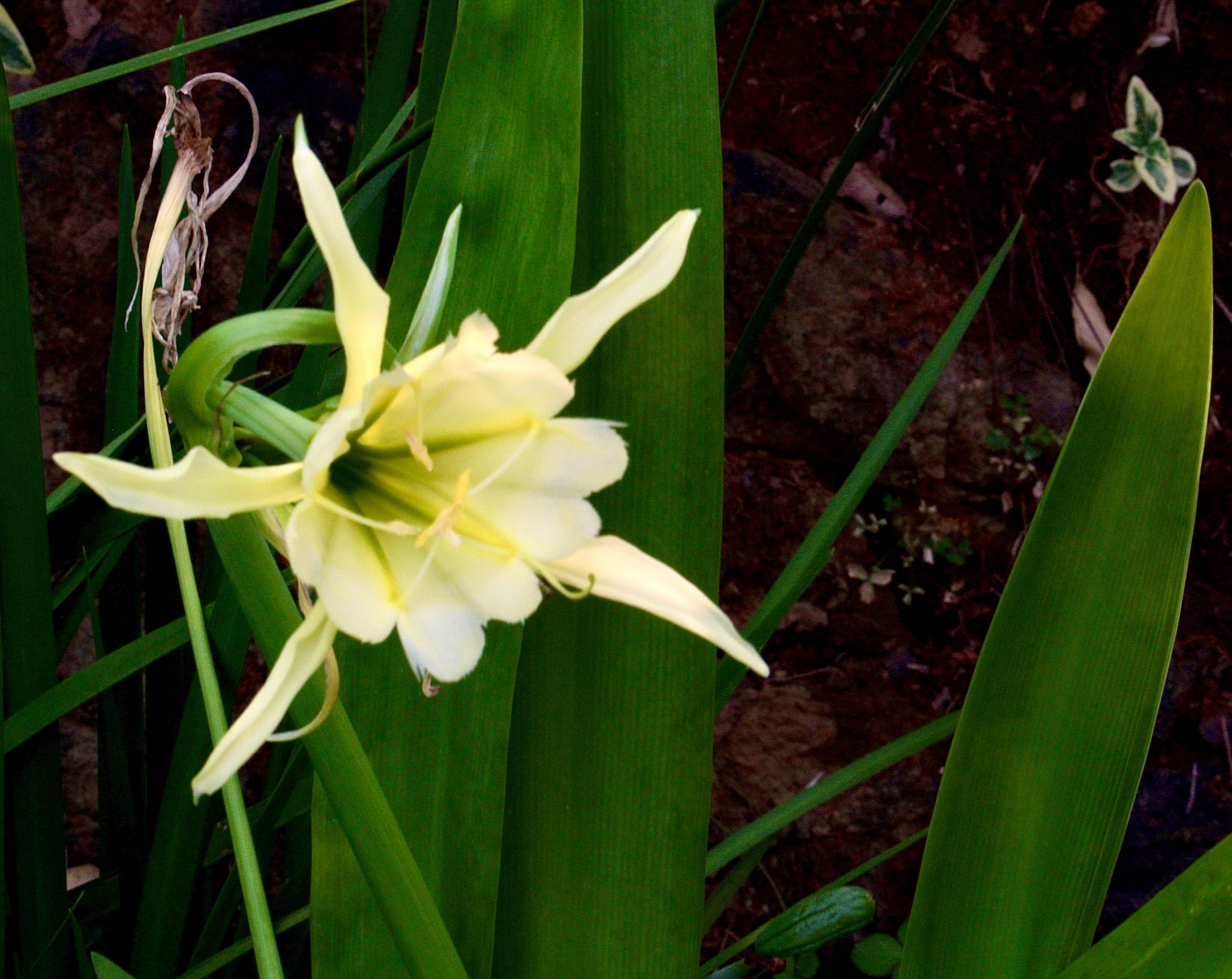 Daffodil Peruvian -2.5 4045.jpg