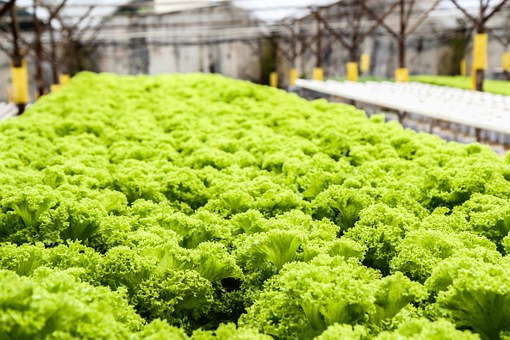 Click image for larger version.  Name:lettuce-139602__340.jpg Views:46 Size:66.8 KB ID:22588