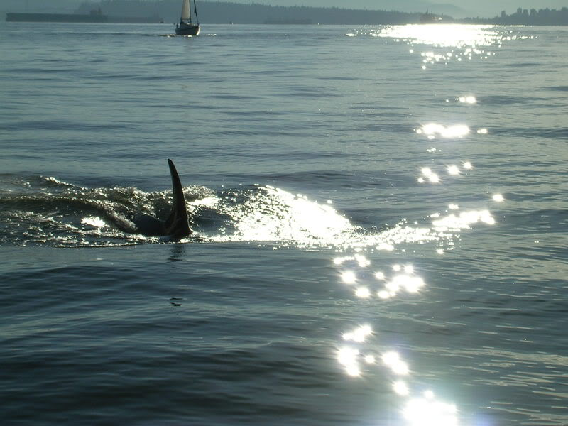 Click image for larger version.  Name:OrcasEnglishBay110808018.jpg Views:37 Size:73.2 KB ID:3143
