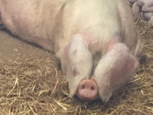 Click image for larger version.  Name:Pig1.JPG Views:27 Size:76.7 KB ID:25456