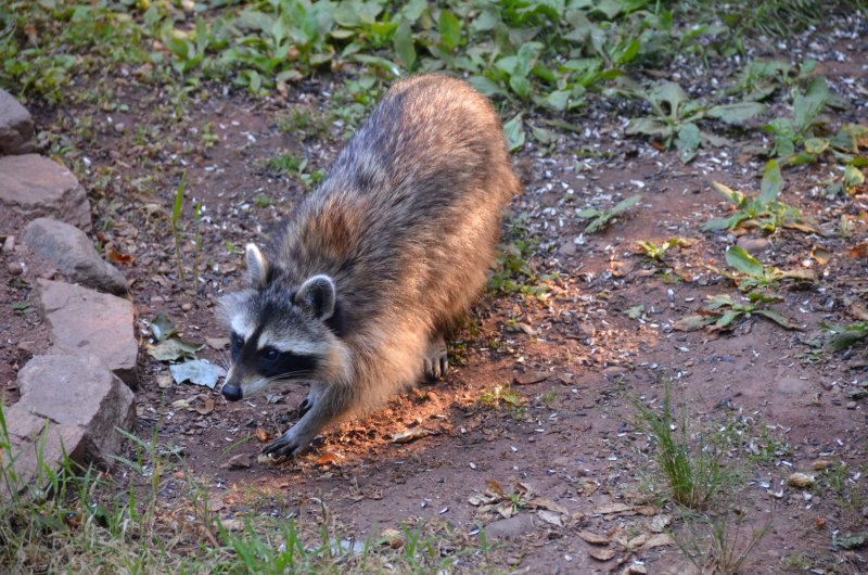Click image for larger version.  Name:raccoon 1.jpg Views:3 Size:142.7 KB ID:14406