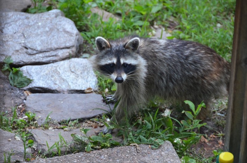 Click image for larger version.  Name:raccoon 3.jpg Views:4 Size:102.9 KB ID:14407