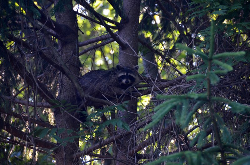 Click image for larger version.  Name:raccoon 4.jpg Views:3 Size:115.2 KB ID:14408