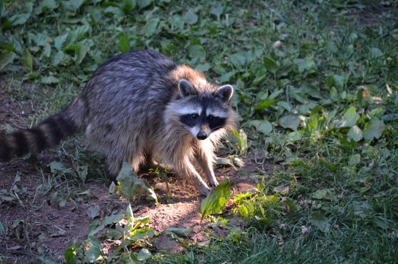 Click image for larger version.  Name:raccoon 5.jpg Views:4 Size:128.1 KB ID:14409
