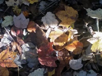 Click image for larger version.  Name:resizedleaves2.jpg Views:1 Size:48.3 KB ID:24992