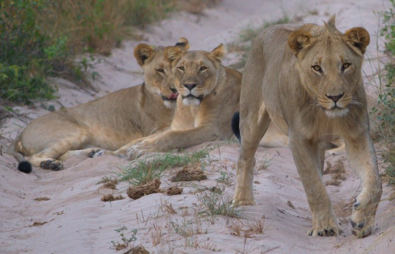 Click image for larger version.  Name:Tembe Young Male 2.jpg Views:13 Size:77.6 KB ID:15504